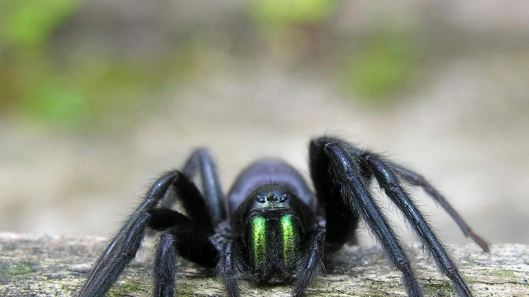 The tube-web spider has been seen in Leicester. Pic: Luis Miguel Bugallo Sanchez