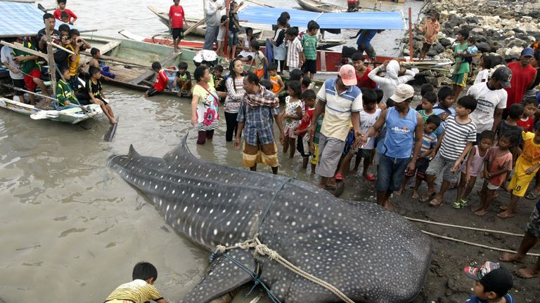 A whale shark is pulled onto the shore in Surabaya, Indonesia, after getting caught in a fishing net. File pic