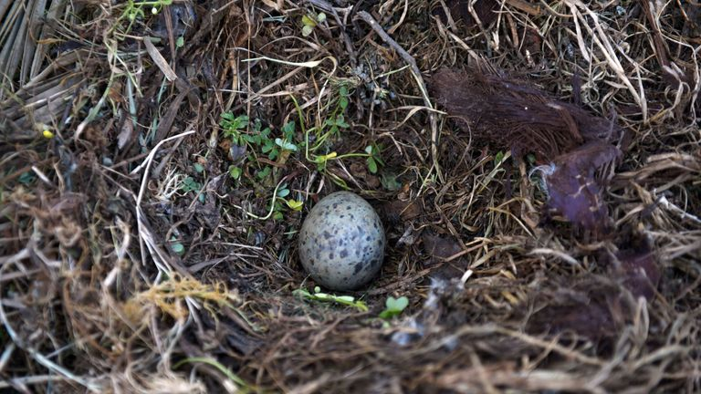 Yellow-legged gull eggs