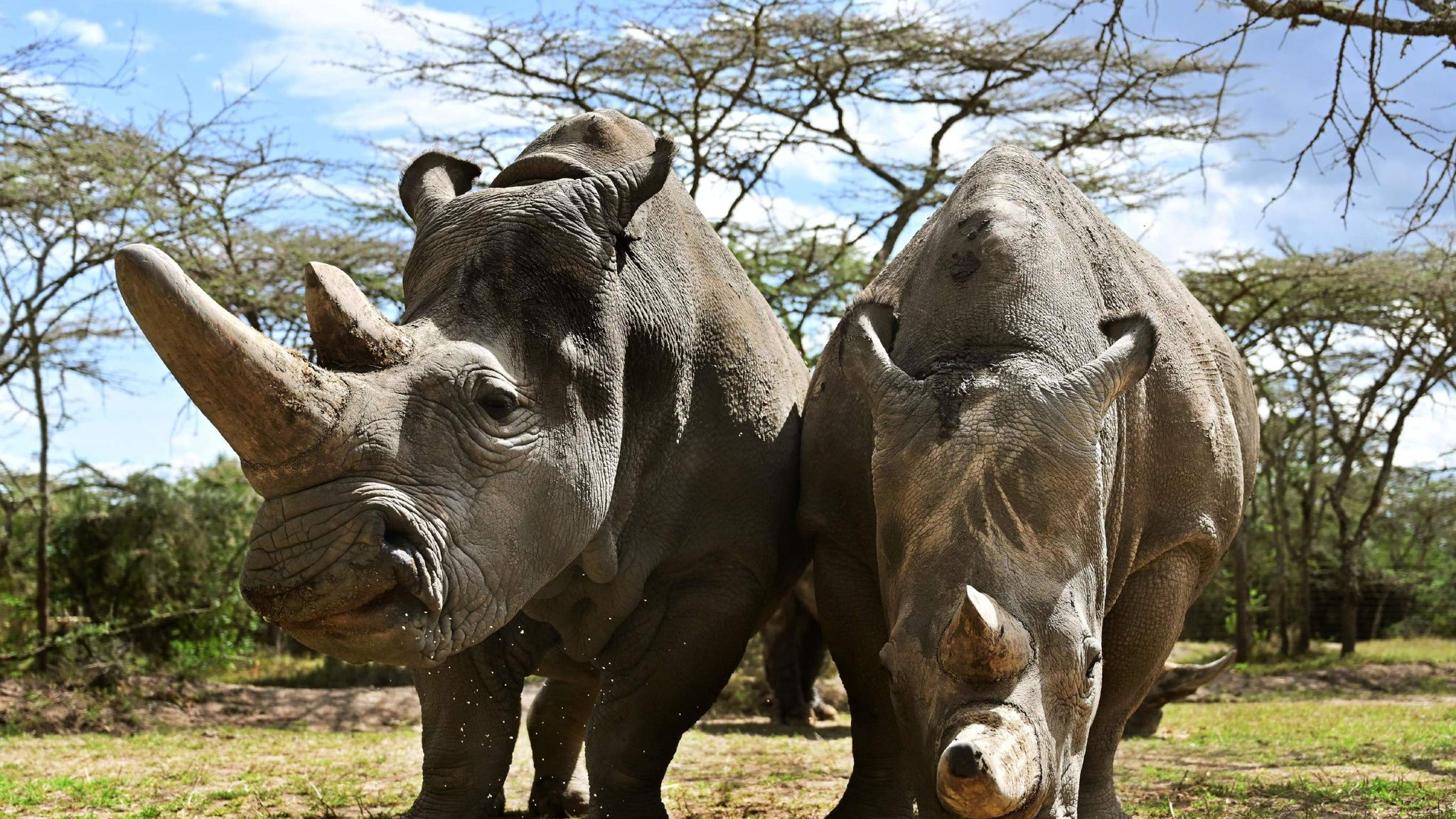 We see a fresh hope for near-extinct northern white rhino as vets harvest eggs