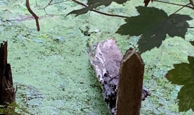 Make it snappy! Police tackle plastic crocodile in Devon swamp