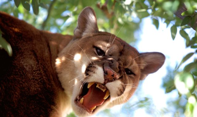 Boy bitten on the head by mountain lion outside his home