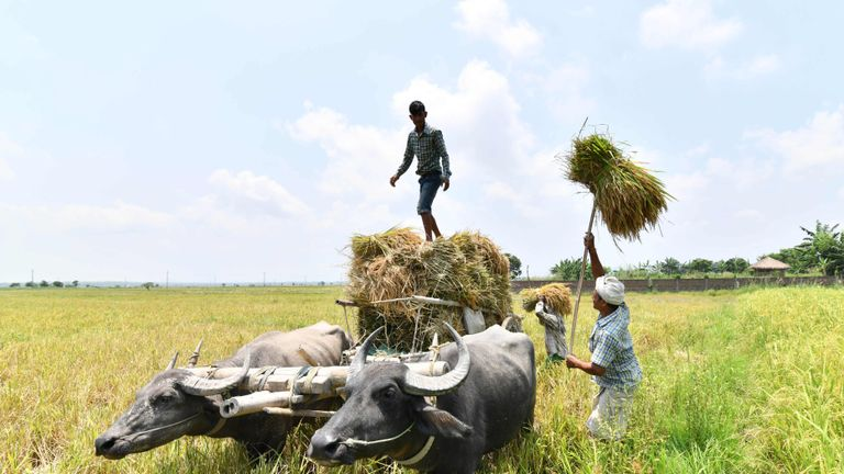 TOPSHOT - Indian farmers load harvested paddy at Burha Mayong village in Morigaon district some 45kms from Guwahati in the northern state of Assam on June 3, 2018. (Photo by Biju BORO / AFP)        (Photo credit should read BIJU BORO/AFP/Getty Images)