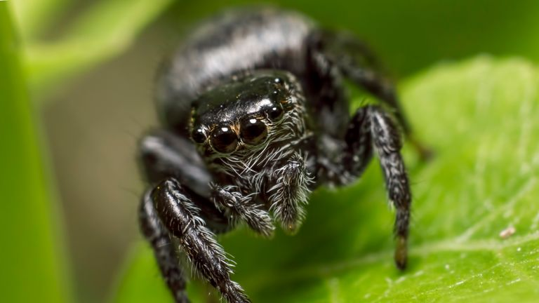 The jumping spider family (Salticidae) contains more than 500 described genera and about 5,000 described species, making it the largest family of spiders with about 13% of all species. Jumping spiders have some of the best vision among invertebrates and use it in courtship, hunting, and navigation. Though they normally move quietly and fairly slowly, most species are capable of very agile jumps, notably when hunting, but sometimes in response to sudden threats. Both their book lungs and the tracheal system are well-developed, and they use both systems (bimodal breathing). Jumping spiders are generally recognized by their eye pattern. All jumping spiders have four pairs of eyes with particularly large anterior median eyes.