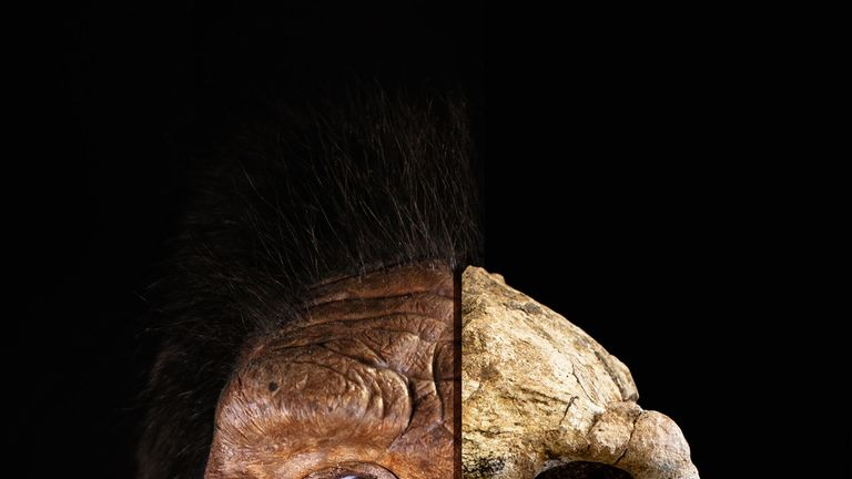 How the skull matches up to how the early human ancestor might have looked. Pic: Cleveland Museum of Natural History