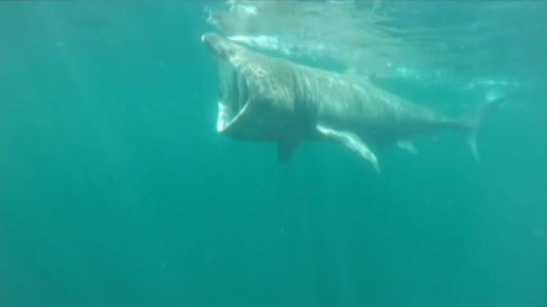 Basking sharks are regarded as being the UK's most elusive fish