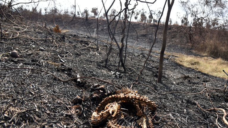 The remains of a snake after a devastating 3,600 square mile forest fire that has hit Bolivia