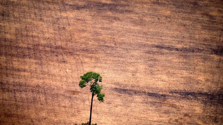 A tree in a deforested area in the middle of the Amazon jungle