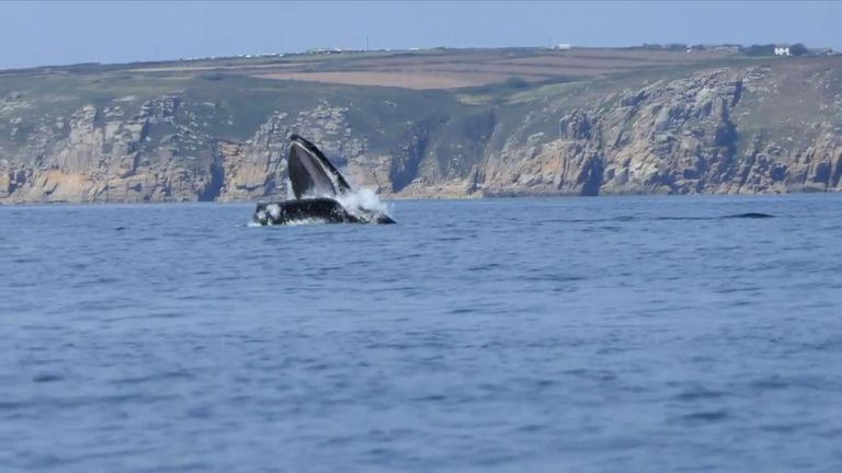 A humpback whale was spotted off the coast of Cornwall by Richard Kirkwood.