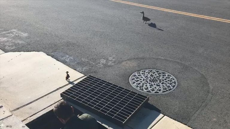 Local reports said a concerned passerby saw the chicks fall into the drain and flagged down the deputies for help
