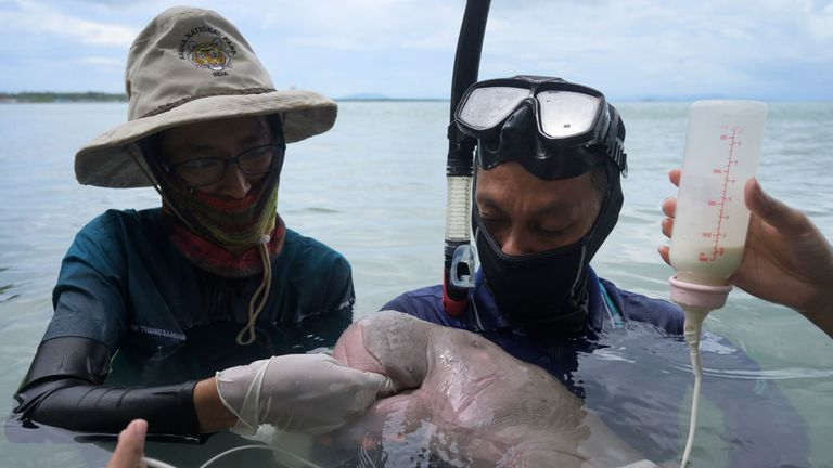Mariam the dugong as she is cared for by park officials and on Libong island, Trang province in southern Thailand