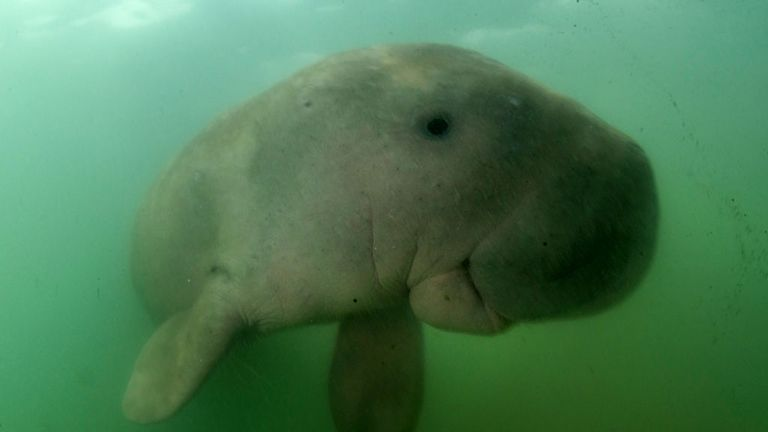 Mariam the dugong as she swims in the waters around Libong island,
