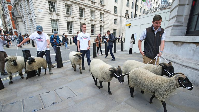 A flock of sheep are herded past government buildings in Whitehall, London, by Farmers for a People's Vote