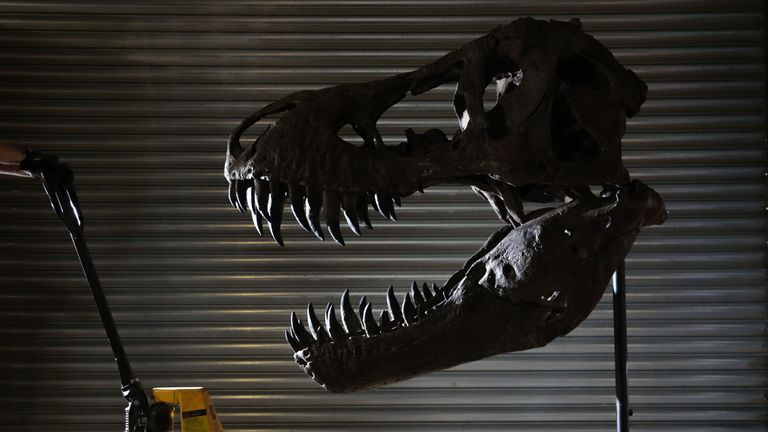 A mounted 5-Foot Tyrannosaurus Rex skull from the 2018 film Jurassic World: Fallen Kingdom