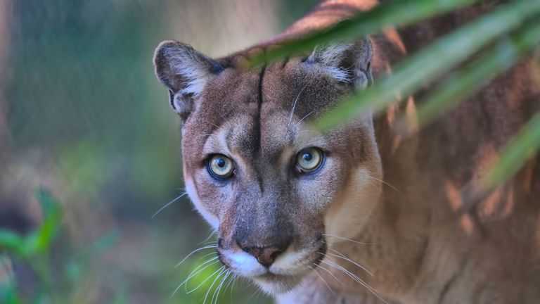 There are about 120 to 230 adult Florida panthers in the population. File pic
