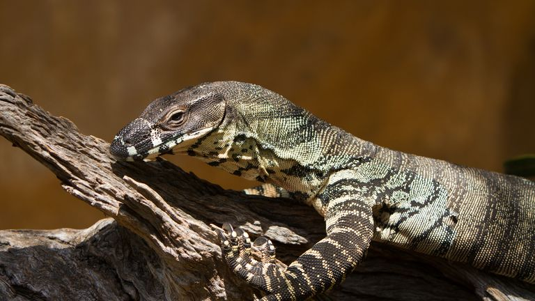 Goannas can grow up to 2m long and have sharp teeth and claws