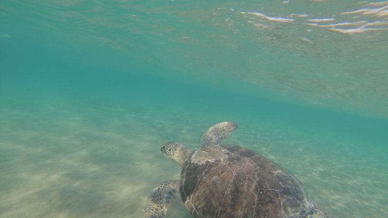 Hungry green turtles are being fooled by plastic that looks like their natural diet, the research suggests