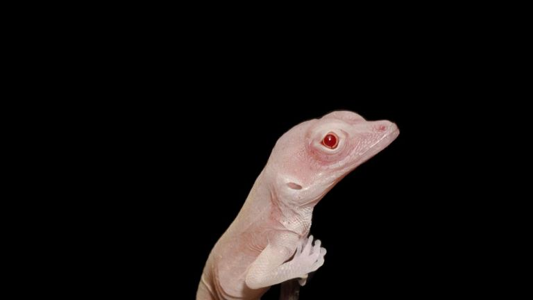 An albino lizard, the first gene-edited reptile. Pic: Doug Menke