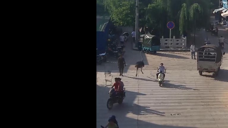 Ostrich runs through streets in China