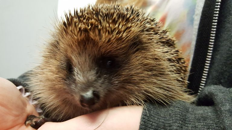 Stephen the blind hedgehog was stolen and returned to his owner Frank