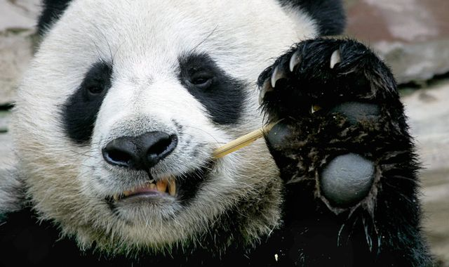 Giant panda Chuang Chuang dies suddenly at Thai zoo