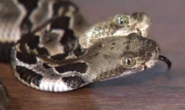 Two-headed rattlesnake, named 'Double Dave', found in New Jersey