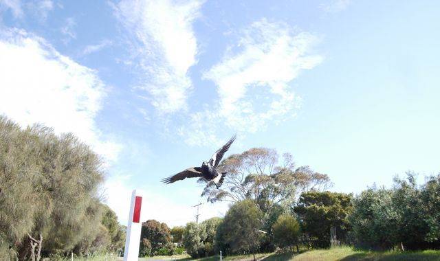 Cyclist dies after swerving to avoid swooping magpie in Australia