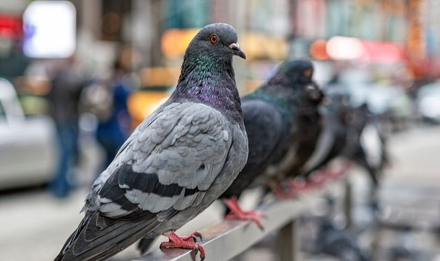 China bans drones and pigeons in Beijing ahead of 70th anniversary