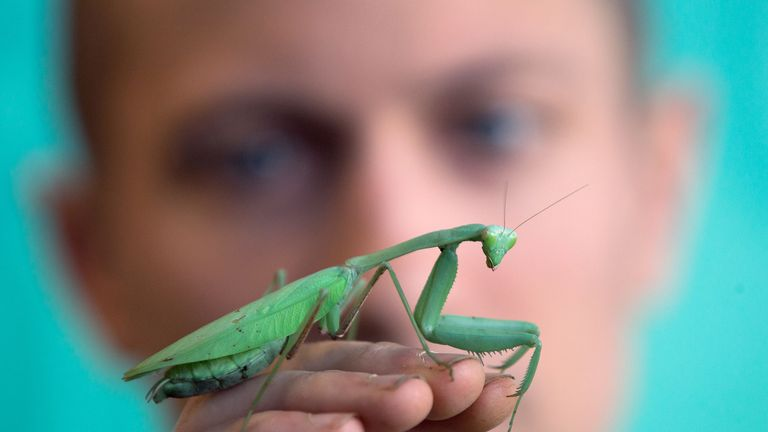 A zoo keeper poses with Praying Mantis during the annual stocktake photocall at London Zoo in central London on January 3, 2017.  The compulsory annual count is required as part of the zoo's licence. / AFP / Daniel LEAL-OLIVAS        (Photo credit should read DANIEL LEAL-OLIVAS/AFP/Getty Images)