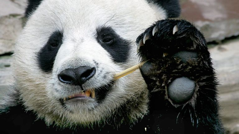 CHIANG MAI, THAILAND:  Chuang Chuang, a giant panda on loan to Thailand from China, enjoys eating bamboo at Chiang Mai Zoo in northern Thailand, 03 September 2005.  Two Chinese giant pandas who have been dubbed 'animal ambassadors' are undergoing health checks in preparation for breeding.    AFP PHOTO/PORNCHAI KITTIWONGSAKUL  (Photo credit should read PORNCHAI KITTIWONGSAKUL/AFP/Getty Images)