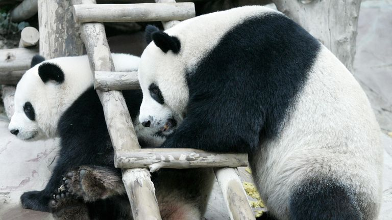 CHIANG MAI, THAILAND:  Two giant pandas on loan to Thailand from China, Chuang Chuang and Lin Hui, play together as they stay at Chiang Mai Zoo in northern Thailand, 03 September 2005.  The two Chinese giant pandas who have been dubbed 'animal ambassadors' are undergoing health checks in preparation for breeding.   AFP PHOTO/PORNCHAI KITTIWONGSAKUL  (Photo credit should read PORNCHAI KITTIWONGSAKUL/AFP/Getty Images)
