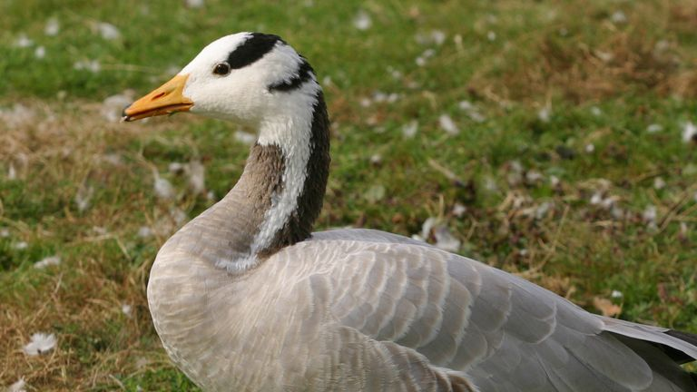 There have been a number of reported sighting of geese over the summit of Mount Everest