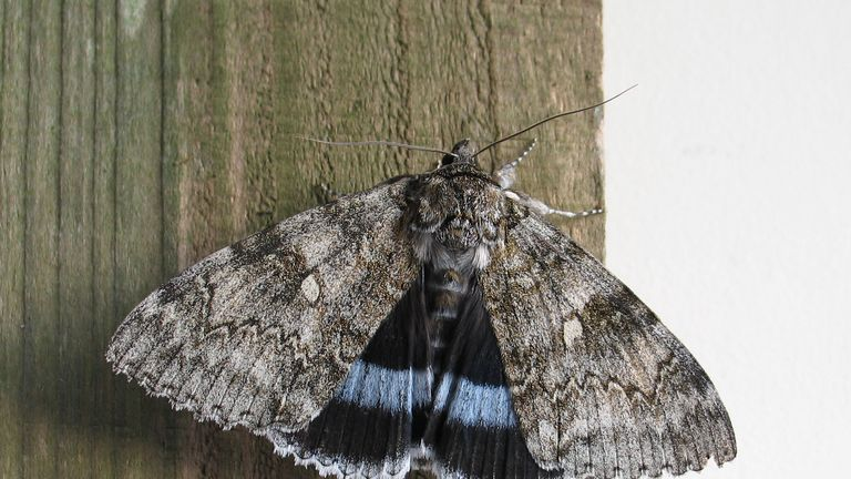 Moth that was 'extinct' for 50 years is back and breeding