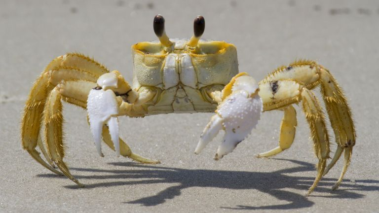 An Atlantic ghost crab on a beach in South Carolina. Pic: imageBROKER/Shutterstock