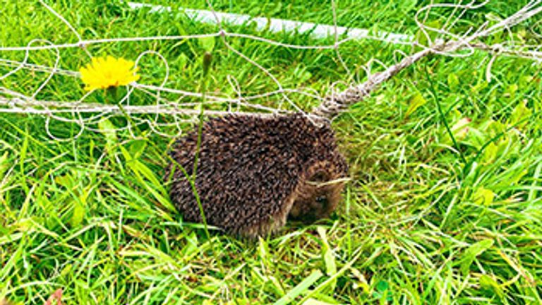RSPCA warning after hedgehog dies in football net