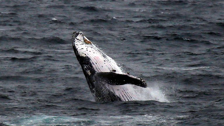 A humpback whale breaches off the coast at Clovelly Beach in Sydney
