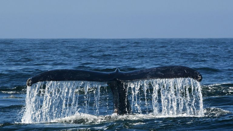 A humpback whale navigates the waters of Monterey Bay, California, September 21, 2018