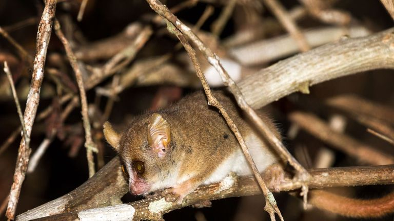 Madame Berthe's mouse lemur: Smallest human relative facing