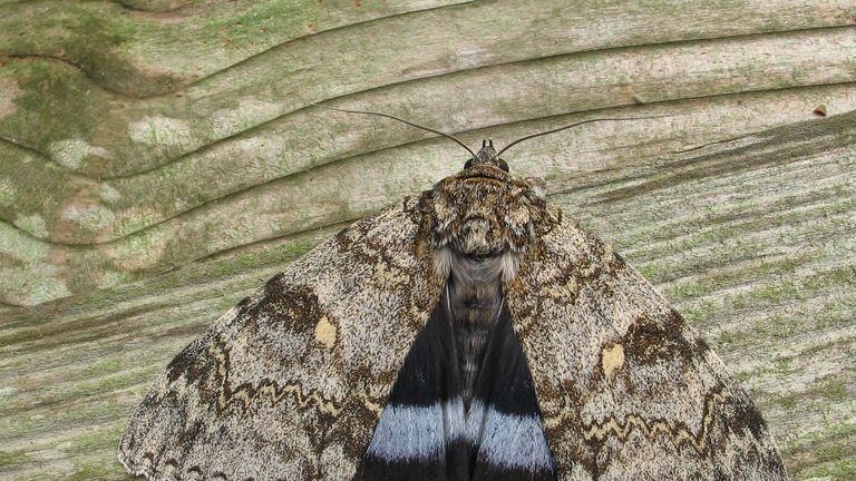 Embargoed to 0001 Thursday September 26 Undated handout photo issued by Butterfly Conservation of a Clifden Nonpareil moth, thought to have been extinct in Britain for 50 years, which has now recolonised and is breeding. PA Photo. Issue date: Thursday September 26, 2019. The Clifden Nonpareil, whose name means ???beyond compare???, is one of the largest and most spectacular moths native to the UK but was believed to have become extinct in the 1960s. See PA story ENVIRONMENT Moth. Photo credit sh