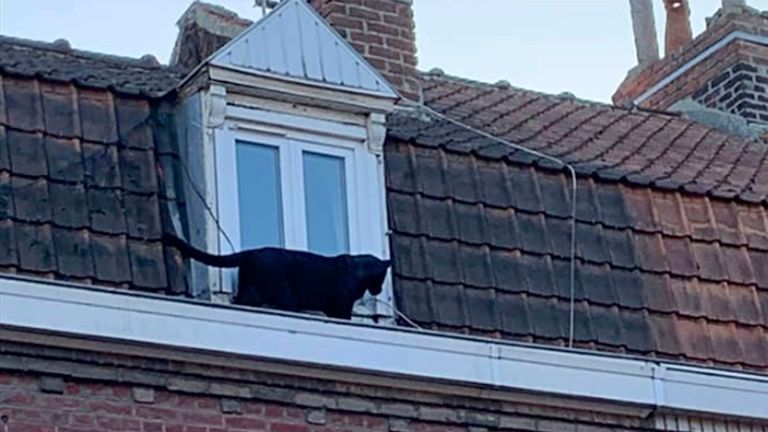 A panther on the gutter of a building in Armentieres, northern France