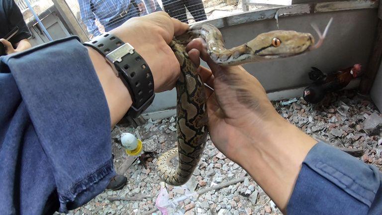 Pinyo Pukpinyo holds a snake