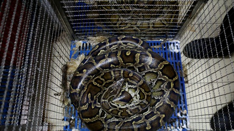 A snake lies in a cage at a fire station in Bangkok, Thailand, June 26