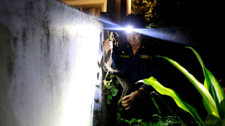 Firefighter Pinyo Pukpinyo, known as 'snake wrangler', holds a python he caught at home in Bangkok, Thailand, June 27. Bangkok firefighters spend more time catching snakes than putting out fires, with more than 100 snake encroachments a day in recent months, compared to just one or two fires, data from the city's fire and rescue department shows