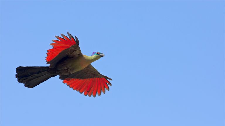 The purple-crested turaco, pictured in South Africa. Pic: Dr Daniel Field
