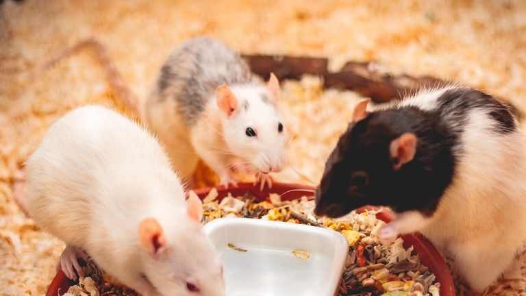 Scientists say rats are very intelligent. File pic