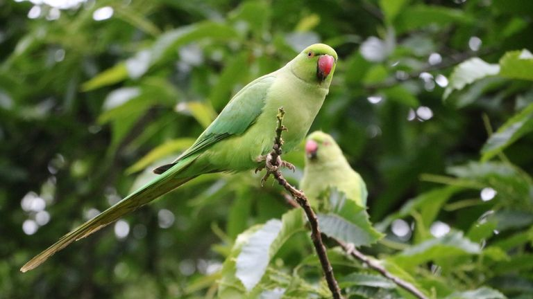 Rose-ringed parakeets seen in St James Park, London. File pic