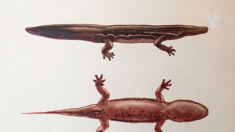 New giant salamander species - Andrias sligoi - painting from ZSL archives.