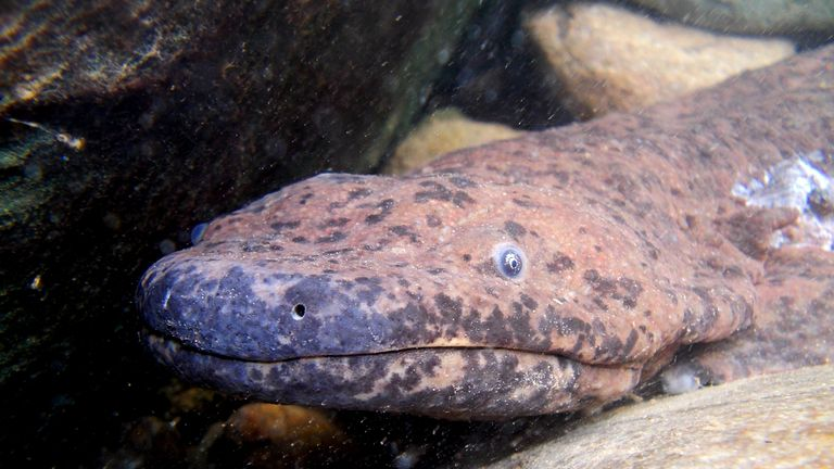 London Zoo is home to a small number of Chinese giant salamanders. Pic: ZSL
