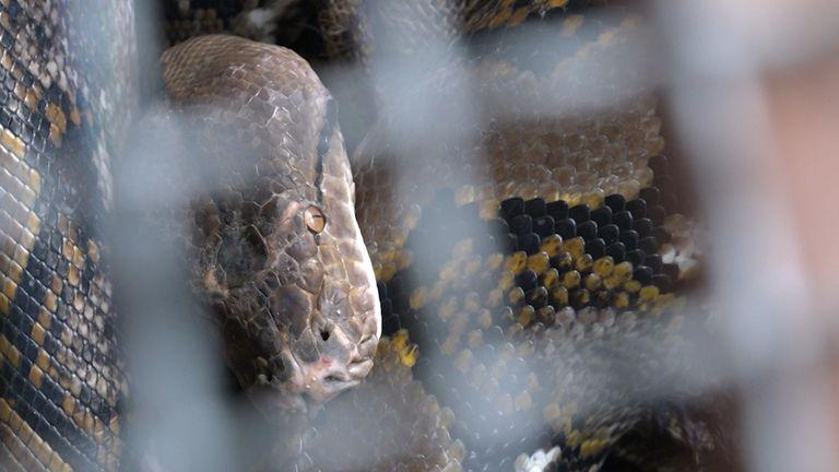 A snake caught by Pinyo Pukpinyo