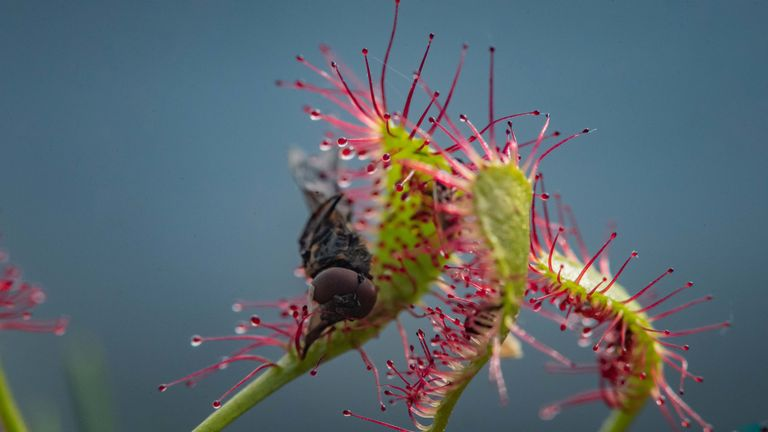 The Sundew has been almost wiped out in the UK. Pic. Chester Zoo